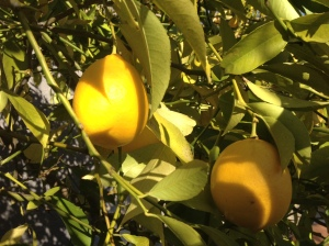 Meyer lemons hanging on a tree