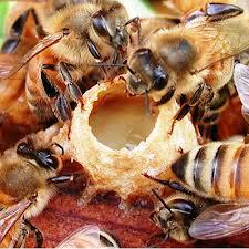 bees making royal jelly